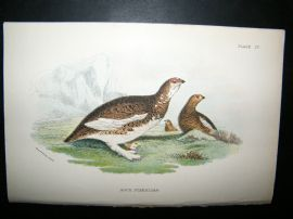Allen 1890's Antique Bird Print. Rock ptarmigan